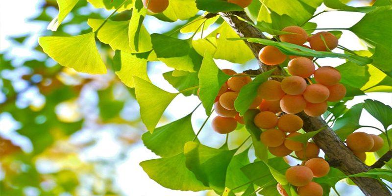 Nơi trồng bạch quả