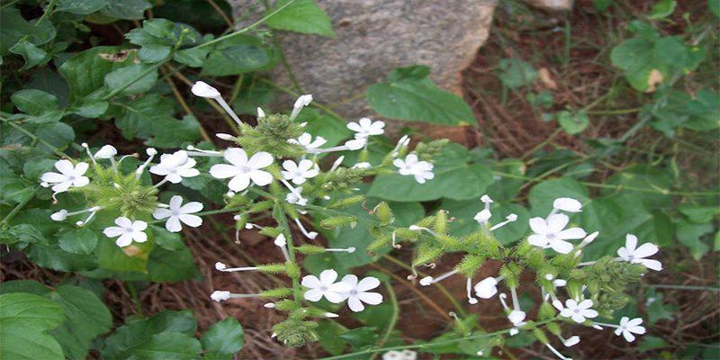 Phân bố, thu hái và chế biến bạch hoa xà