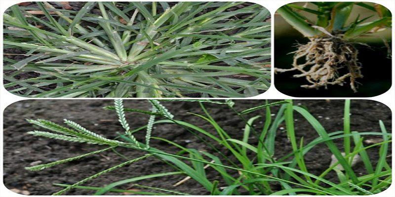 Đặc điểm cây cỏ mần trầu