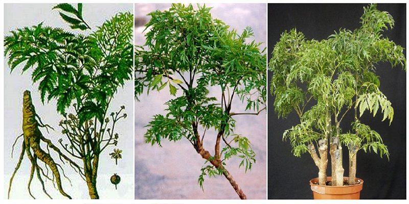 Đặc điểm cây đinh lăng