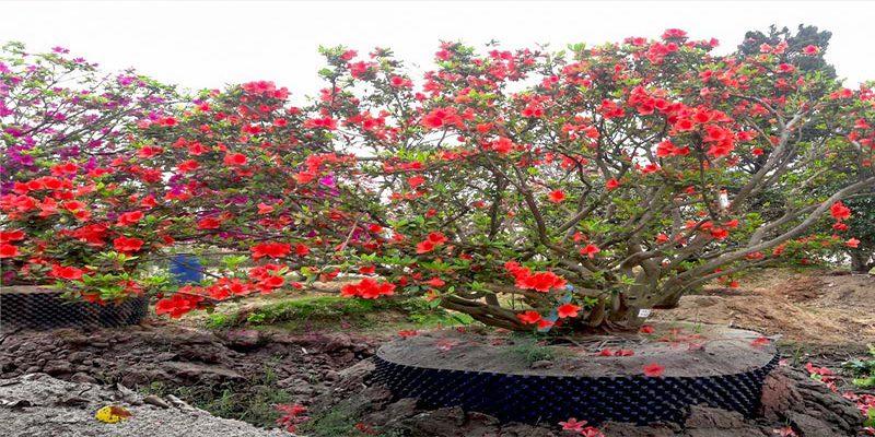 Tác dụng của hoa đỗ quyên