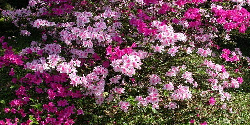Hoa đỗ quyên là gì?