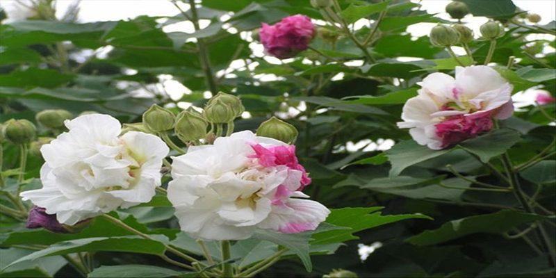 Đặc điểm cây Hoa phù dung
