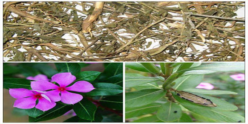 Tác dụng của cây dừa cạn