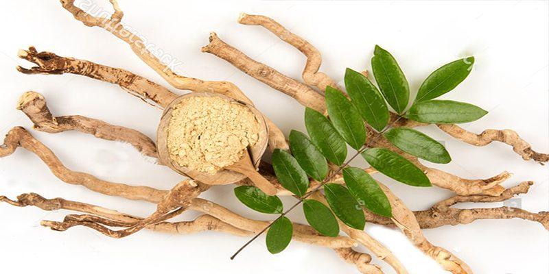 Tác dụng của cây mật nhân