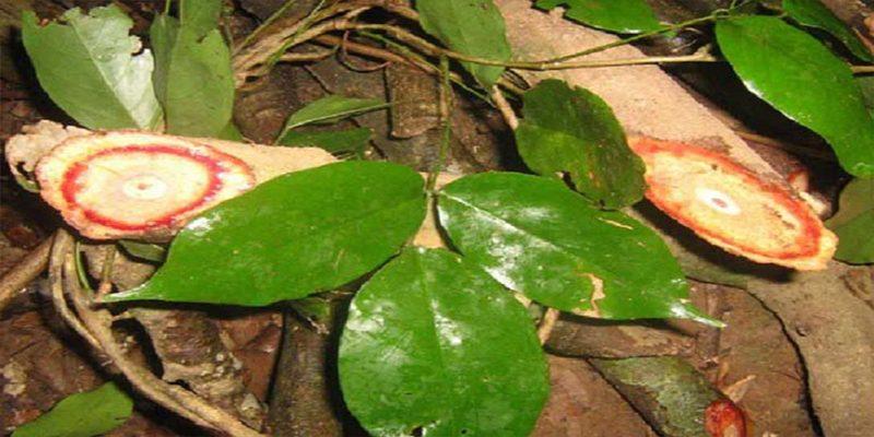 Đặc điểm của cây cỏ máu