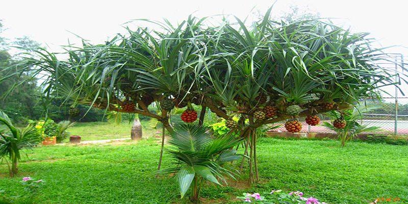 Đặc điểm cây dứa dại