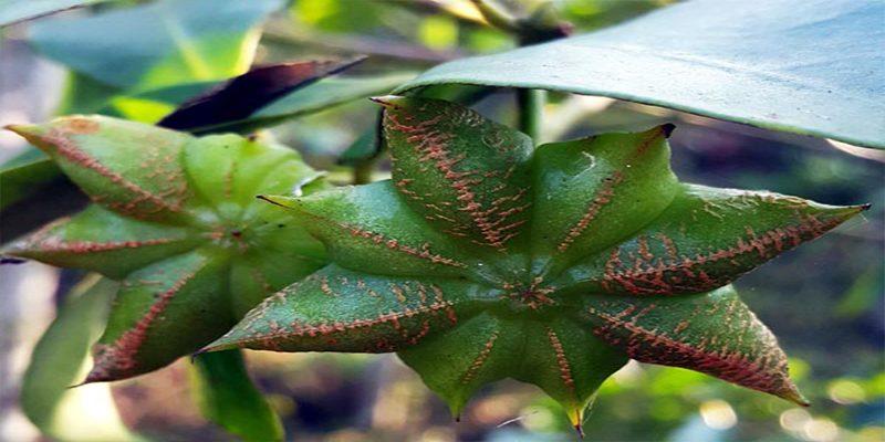 Đặc điểm của cây hoa hồi