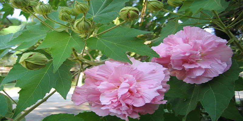 Tác dụng chữa bệnh của Hoa phù dung