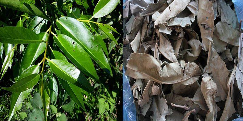 Thành phần hóa học của cây lá vối