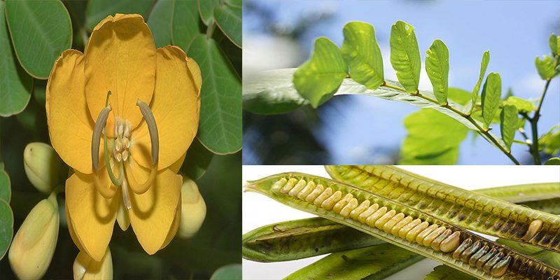 Tác dụng của cây muồng trâu