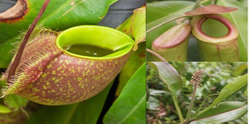 Tác dụng chữa bệnh của cây nắp ấm