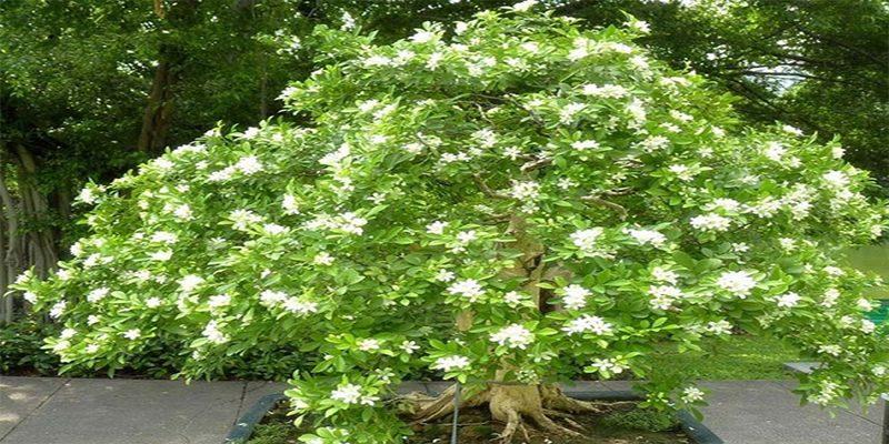 Đặc điểm của cây nguyệt quế