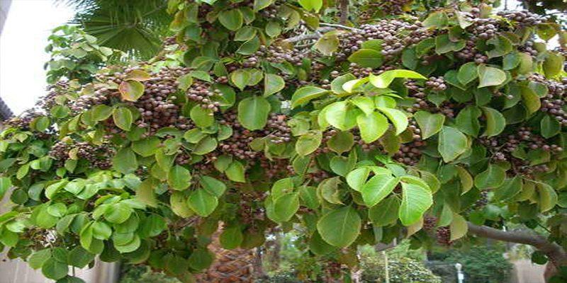 Đặc điểm của cây nhội